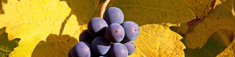 Uva Pinot Noir