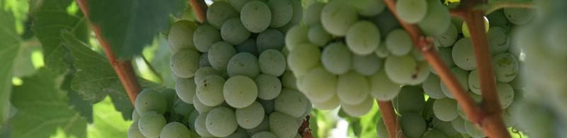 Uva Sauvignon Blanc