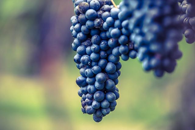 Uva do Lambrusco